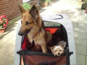 Zwei Hunde im Fahrradanhänger
